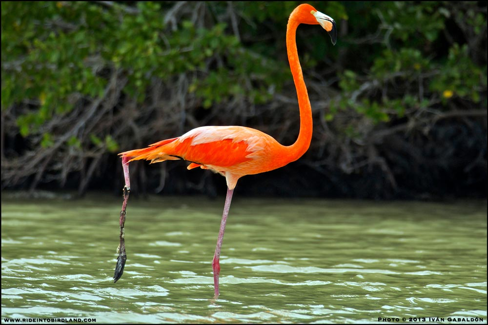 A badly injured Flamingo: a sad sight to say the least. (Photo © Ivan Gabaldon).