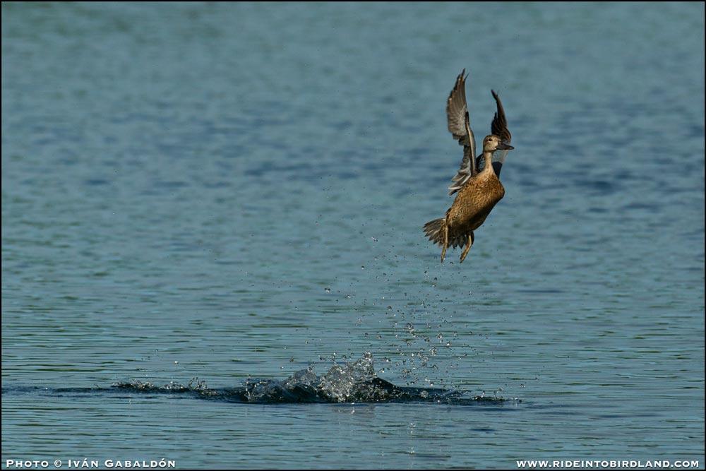 Una Cerceta Aliazul (Anas discors) se eleva en un salto (Foto © Iván Gabaldón).