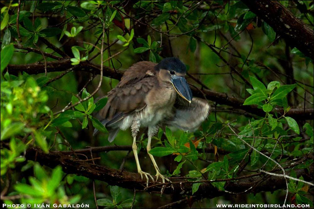 Otro ejemplar juvenil, en esta ocasión una Garza Cucharón (Cochlearius cochlearius), se sacude y esponja sus plumas. (Foto © Iván Gabaldón).