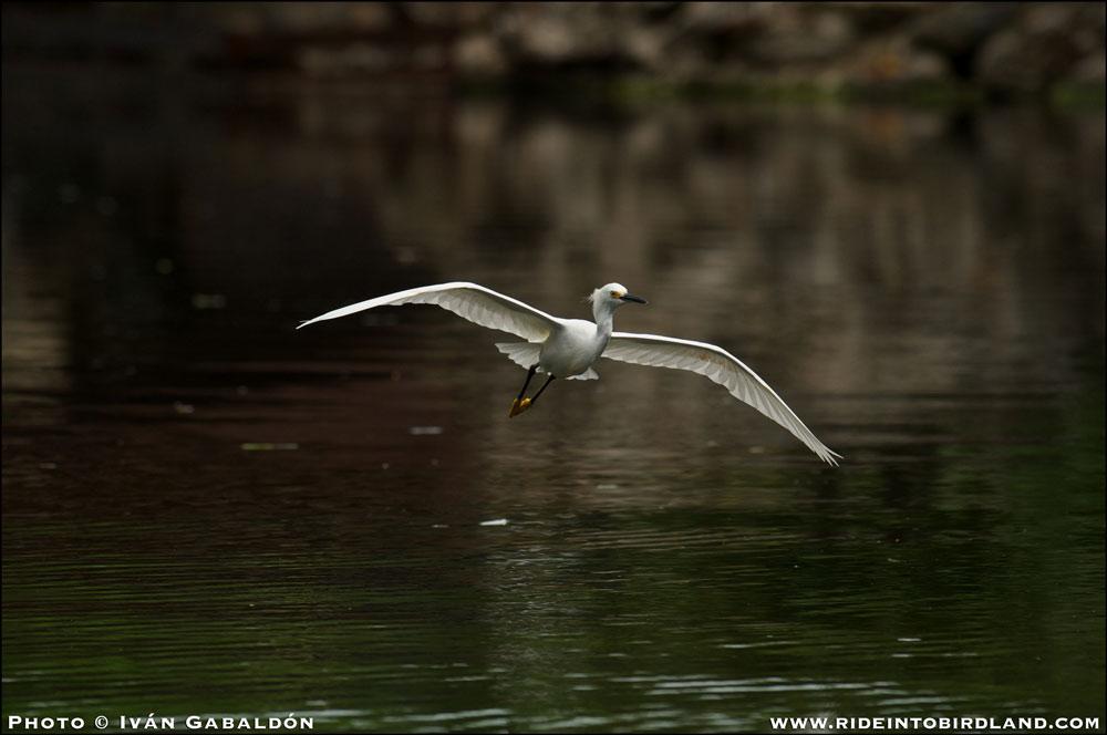 Siempre digna de ver y un apropiado final: una Garza Nívea (Egretta thula) en grácil vuelo. (Foto © Iván Gabaldón).