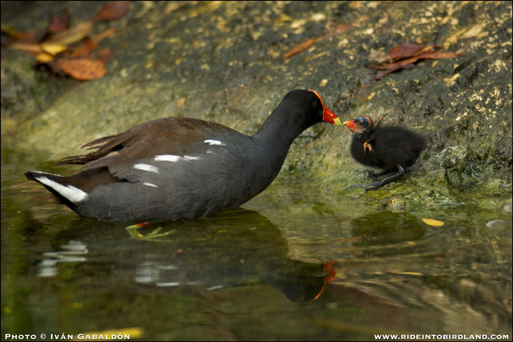 A Common Gallinule (Gallinula galeata) is kept busy constantly feeding her very young chick. (Photo © Ivan Gabaldon).