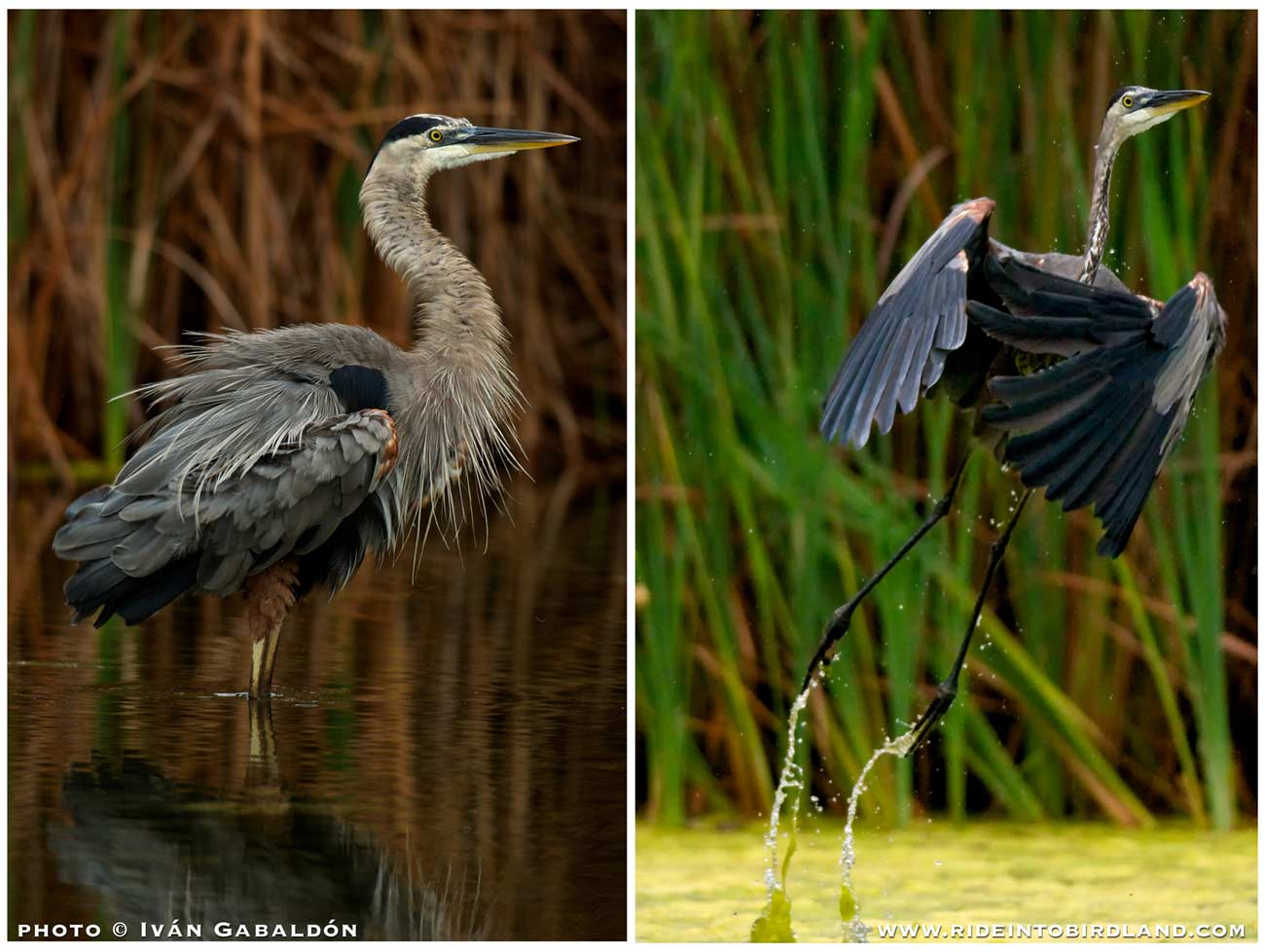Same bird, two distinct moments: a Great Blue Heron (Ardea herodias) ruffles its feathers, then takes off with the grace of a ballerina. (Photo © Ivan Gabaldon).