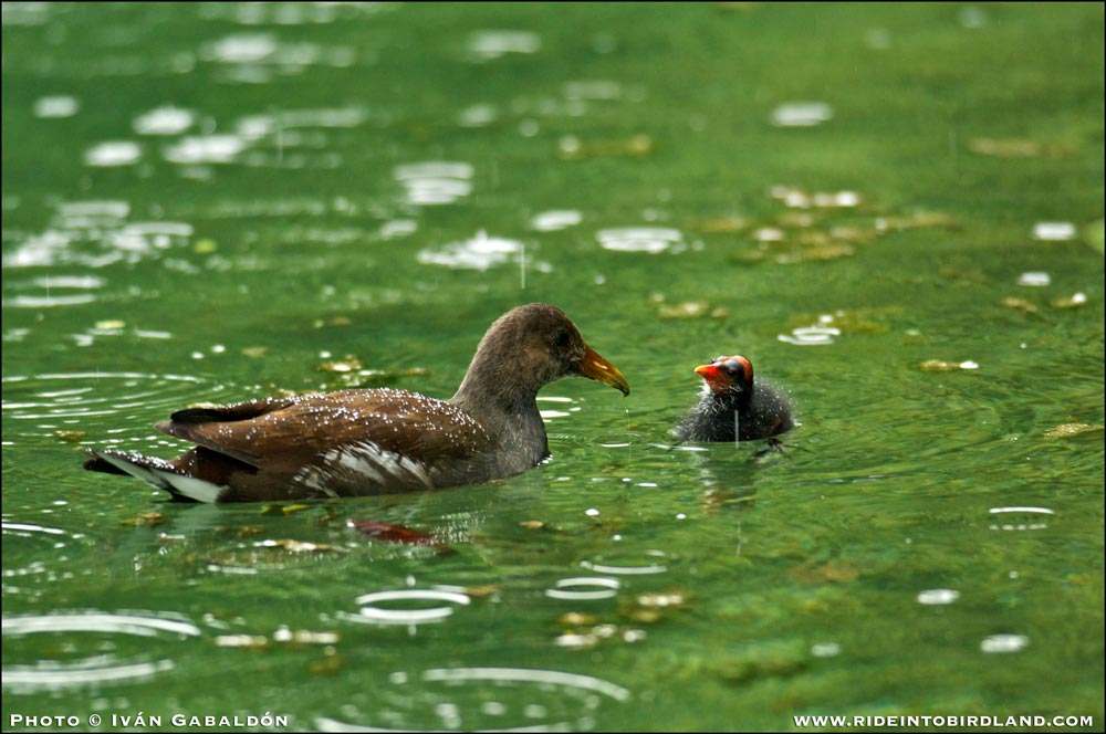 Interesting behavior: as rain starts falling again, a juvenile Common Gallinule (Gallinula galeata) also helps feed the chicks. (Photo © Ivan Gabaldon).