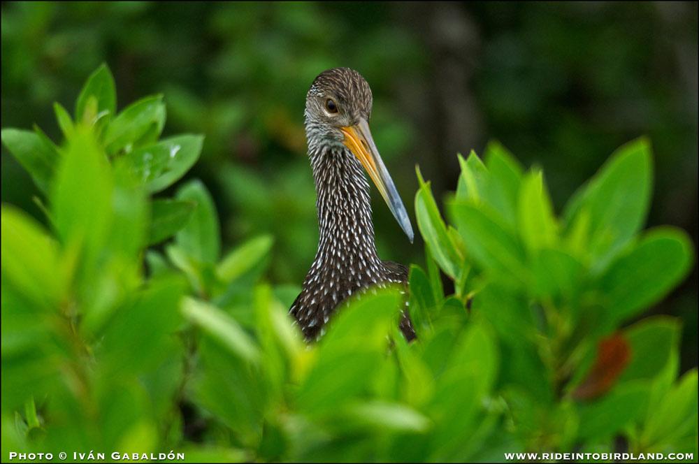 Un Carao (Aramus guarauna) nos observa desde detrás del mangle. Esta especie, de gran atractivo para los observadores de aves de todo el mundo, se hace cada vez más común en Mayakoba. (Foto © Iván Gabaldón)