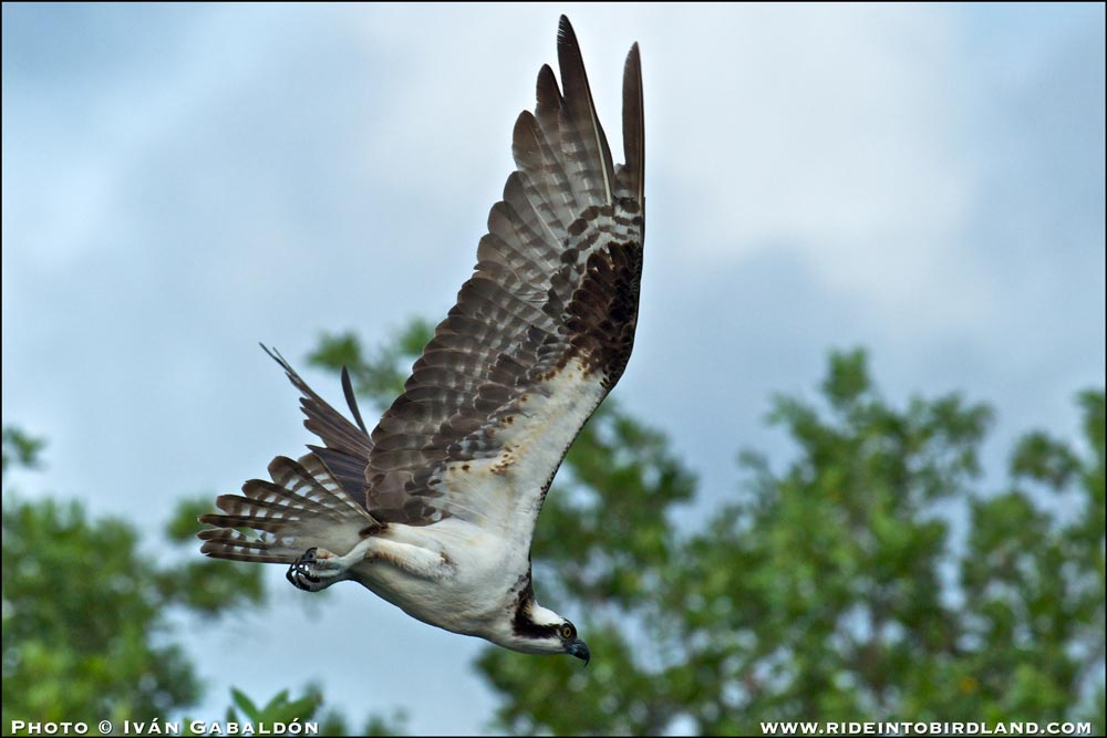 Osprey_dives! (Pandion haliaetus). I never fail to be impressed by the wingspan and the potent claws of this high performance raptors. (Photo © Ivan Gabaldon).