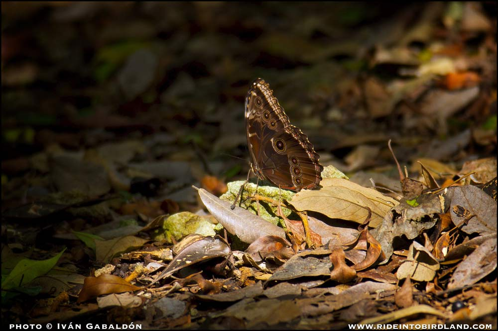 Butterflies of the species Morpho helenor like to dwell on dark and humid terrain in the forest. (Photo © Iván Gabaldón).