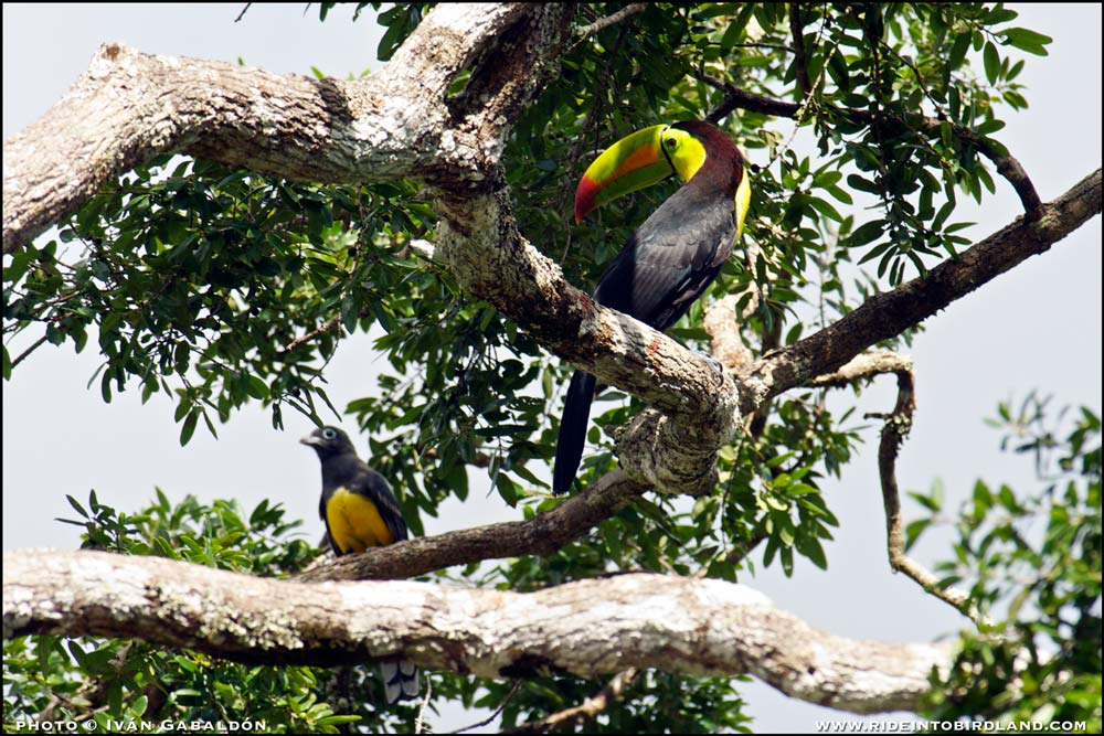 A colorful neighborhood: a Keel-billed Toucan (Ramphastos sulfuratus) and a Black-headed Trogon (Trogon melanocephalus) share this tree top. (Photo © Iván Gabaldón).