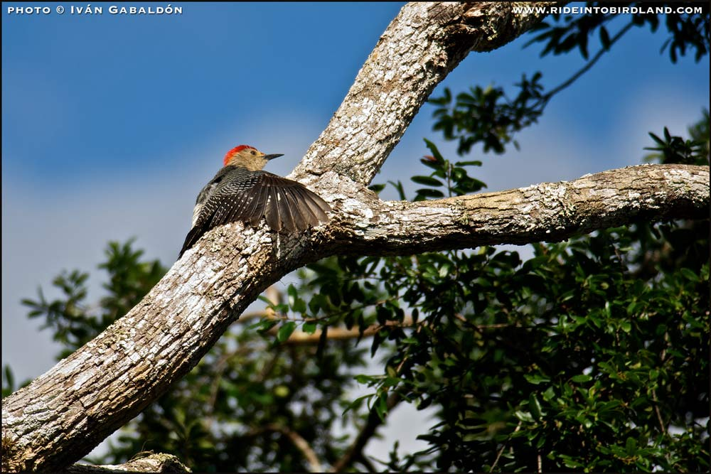 On the same tree, a Golden-fronted Woodpecker (Melanerpes aurifrons). (Photo © Iván Gabaldón)
