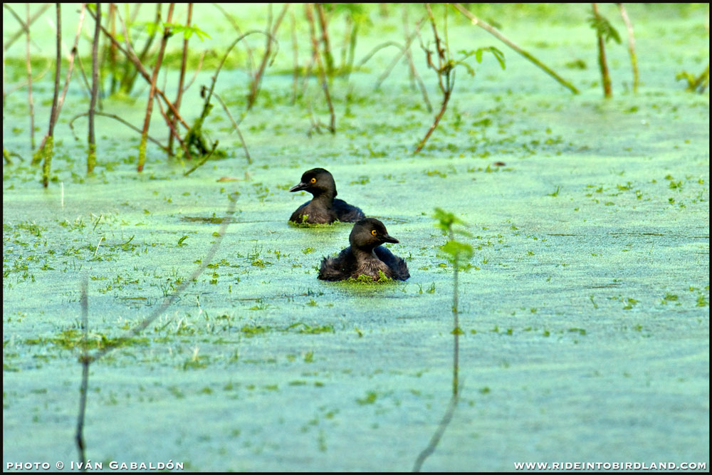 Lest Grebes (Tachybaptus dominicus), always aware of their surroundings. (Photo © Iván Gabaldón).