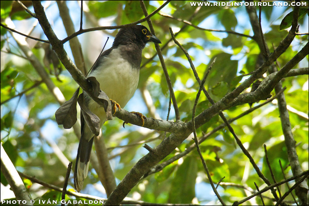 Brown Jay (Cyanocorax morio). The yellow ring around the eye indicates this is an immature specimen. (Photo © Iván Gabaldón).
