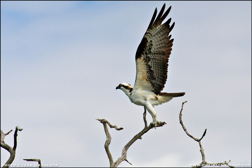 An Osprey (Pandion haliaetus) spreads its powerful wings just before take-off. Photographed in Isla Arenas, Campeche.(Photo © Iván Gabaldón).