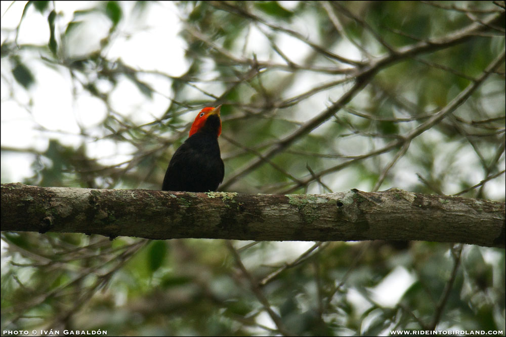 A male Red-capped Manakin (Pipra mentalis). (Photo © Ivan Gabaldon).