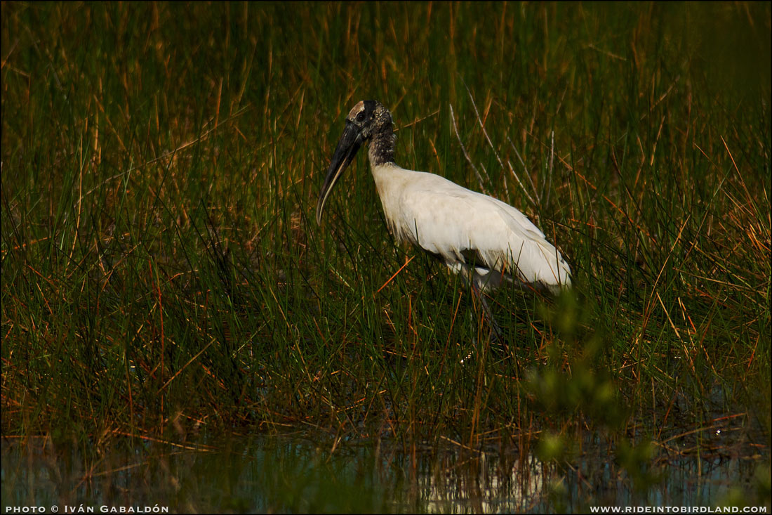 Wood Stork (Mycteria americana). (Photo © Iván Gabaldón).