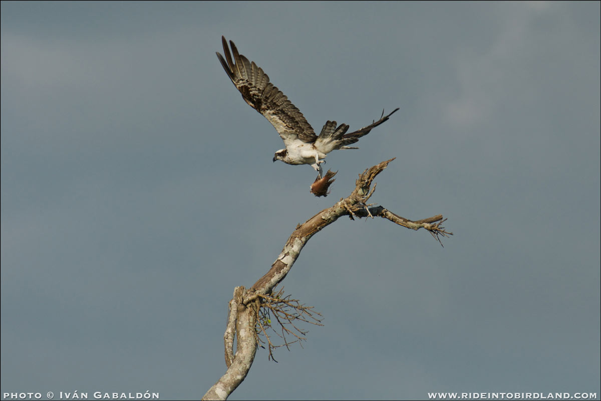 Osprey (Pandion haliaetus), airborne and clutching its catch of fish. (Photo © Iván Gabaldón).