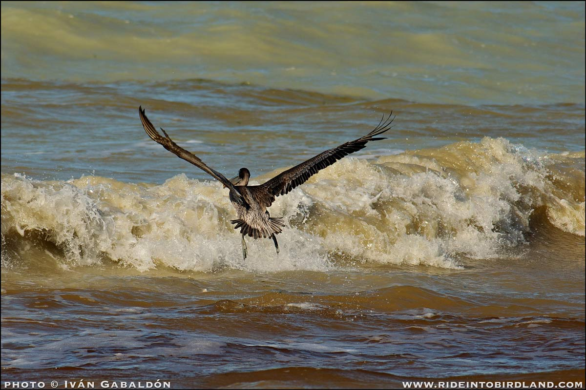 Brown pelican challenging the sea (Pelecanus occidentalis) . (Photo © Iván Gabaldón).