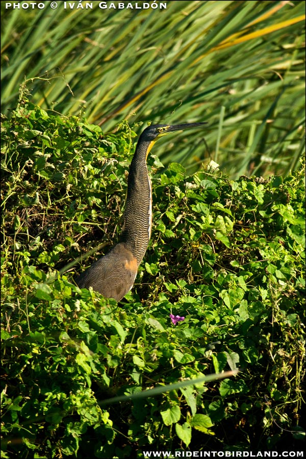 Camouflaged in its habitat, yet always striking, a Bare-throared Tiger Heron (Tigrisoma mexicanus). (Photo Iván Gabaldón).