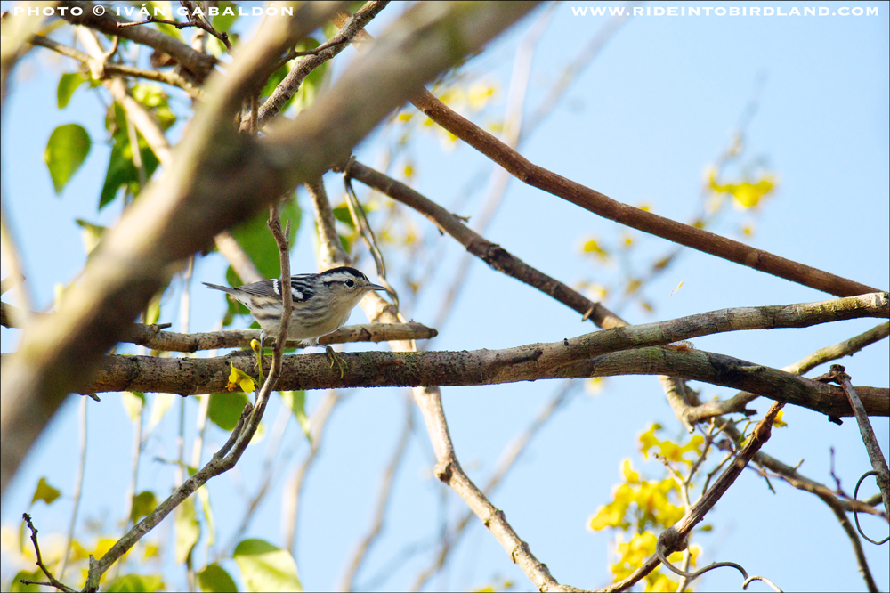 A Black-and-white Warbler (Mniotilta varia). (Photo © Iván Gabaldón).