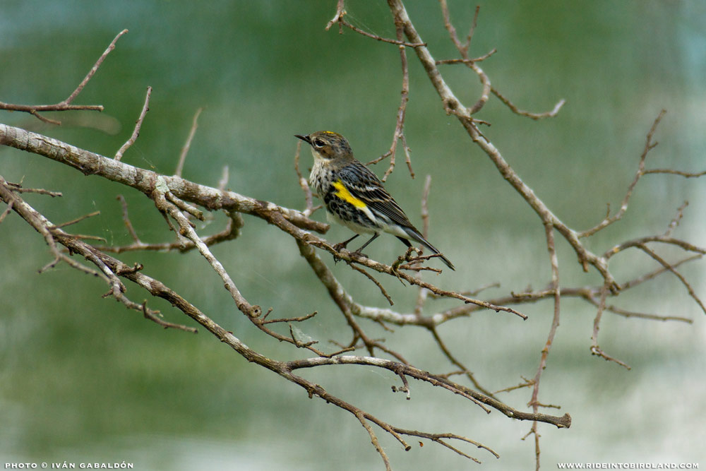 It was just starting to drizzle near the end of our outing with Barbara when this Yellow-rumped Warbler (Setophaga coronata) showed up. (Photo © Iván Gabaldón).