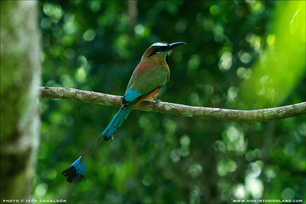 The Turquoise-browed Motmot (Eumomota superciliosa), an unforgettable bird that can be seen year-round in the Yucatan Peninsula. (Photo © Ivan Gabaldon).