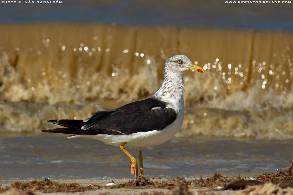 The Lesser Black-backed Gull (Larus fuscus) has become in recent years a much more frequent sight in the Yucatan Peninsula. (Photo © Ivan Gabaldon).