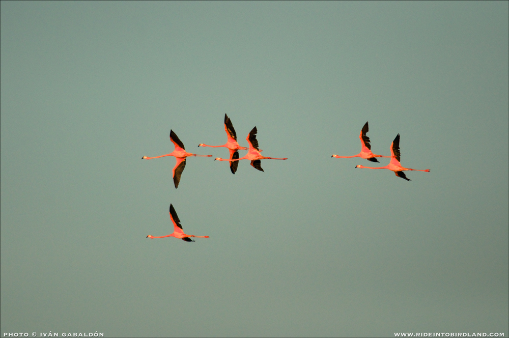 Flamingoes (Phoenicpterus ruber) at the end of the day, near Progreso. (Photo © Ivan Gabaldon).