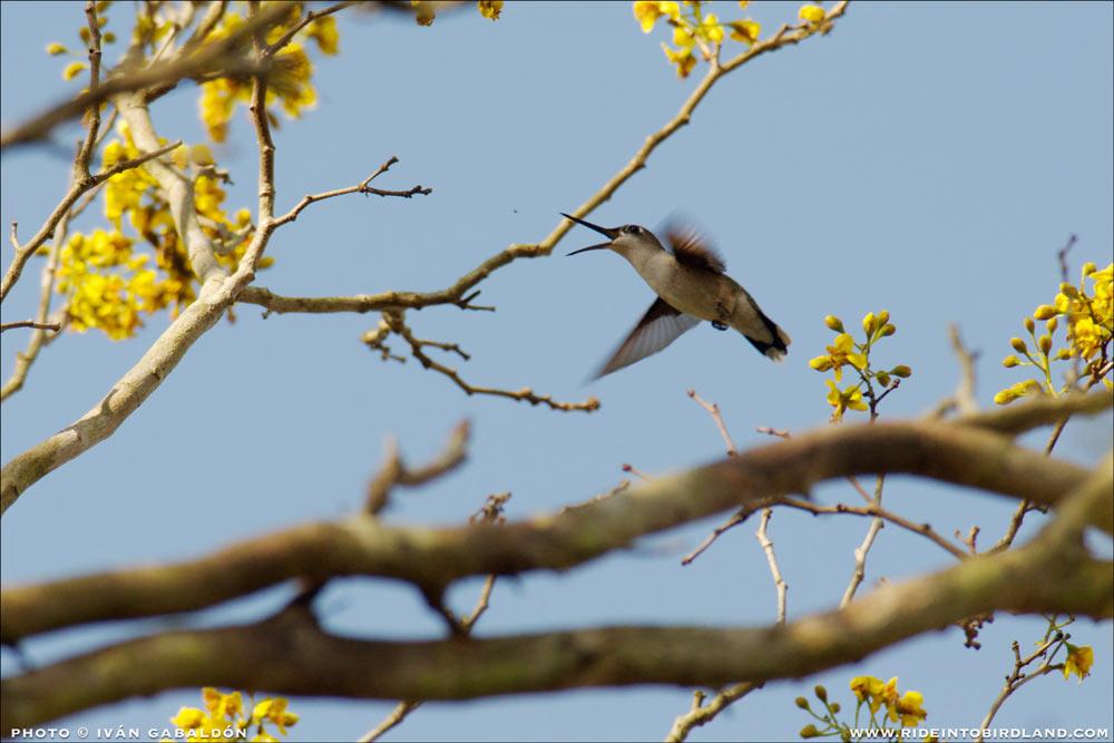hummingbird_hawking_1