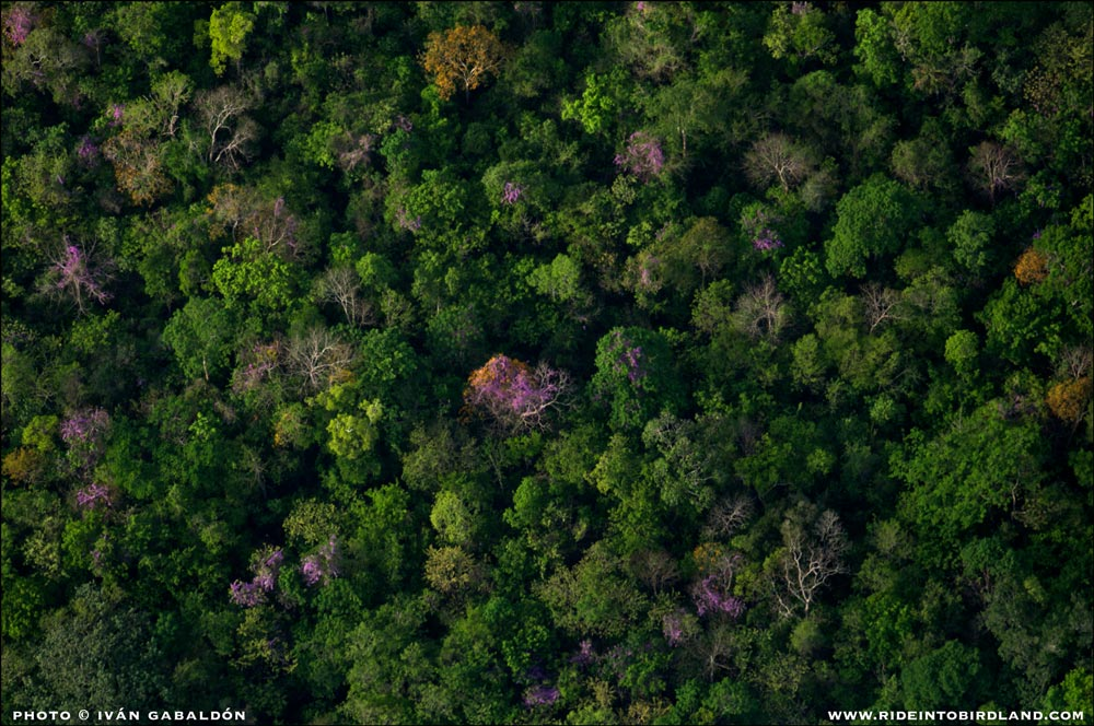 From my privileged point of view I can see how, as has been explained to me by Ornithologist Paul Wood, trees in the Yucatan Peninsula bloom asynchronously to avoid competing all at the same time for the attention of pollinators. (Photo © Ivan Gabaldon - Aerial support provided by Lighthawk to Pronatura Peninsula de Yiucatan).