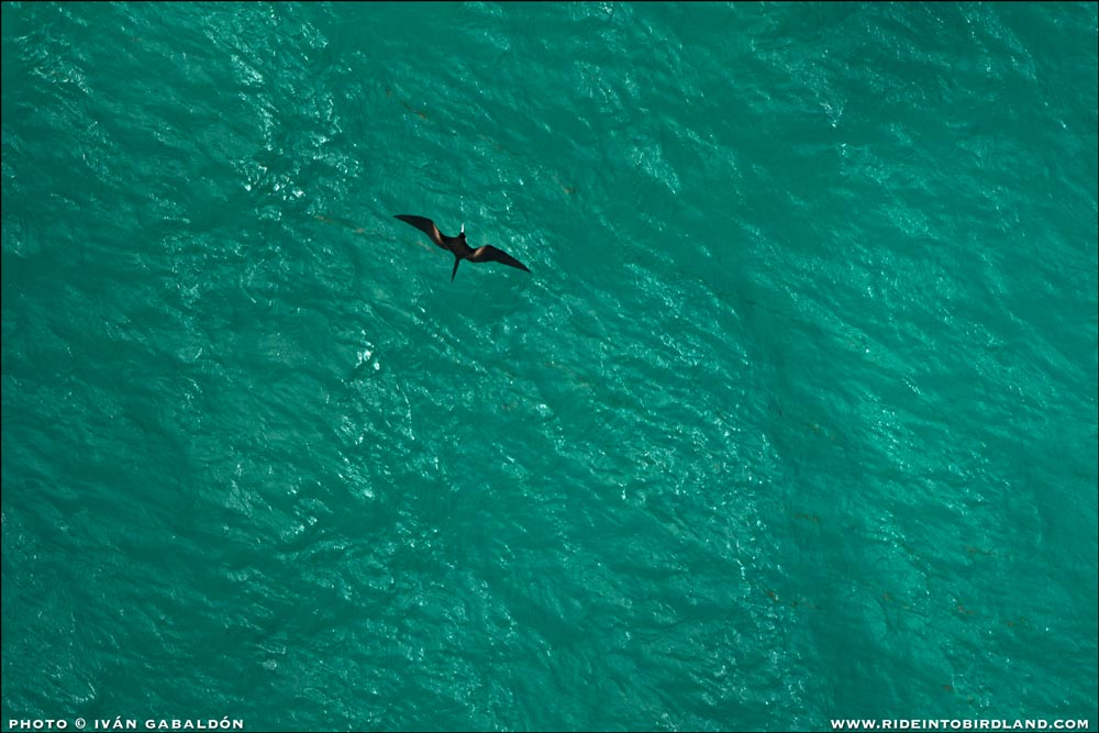 This is an uncommon view for us birders: a high-altitude flying Magnificent Frigatebird, seen from above! (Photo © Ivan Gabaldon - Aerial support provided by Lighthawk to Pronatura Peninsula de Yucatan).