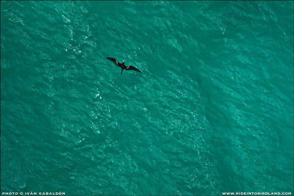 Esta es una vista poco común para nosotros los pajareros: una Fragata Magnífica, volando a gran altitud, ¡vista desde arriba!. (Foto © Iván Gabaldón - Soporte aéreo provisto por Lighthawk para Pronatura Península de Yucatán).