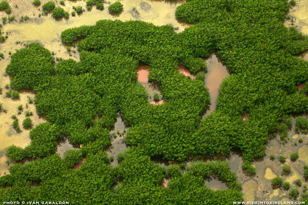 mangroves are a vital piece of nature's big engine, acting as natural filters and breeding areas. (Photo © Ivan Gabaldon - Aerial support provided by Lighthawk to Pronatura Peninsula de Yucatan).