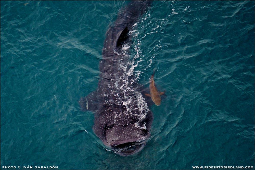 Finalmente, uno de varios Tiburones Ballena (Rhincodon typus) que podemos ver en su ruta migratoria. Nadando al lado del tiburón, una Cobia (Rachycentron canadum). (Foto © Iván Gabaldón - Soporte aéreo provisto por Lighthawk para Pronatura Península de Yucatán).