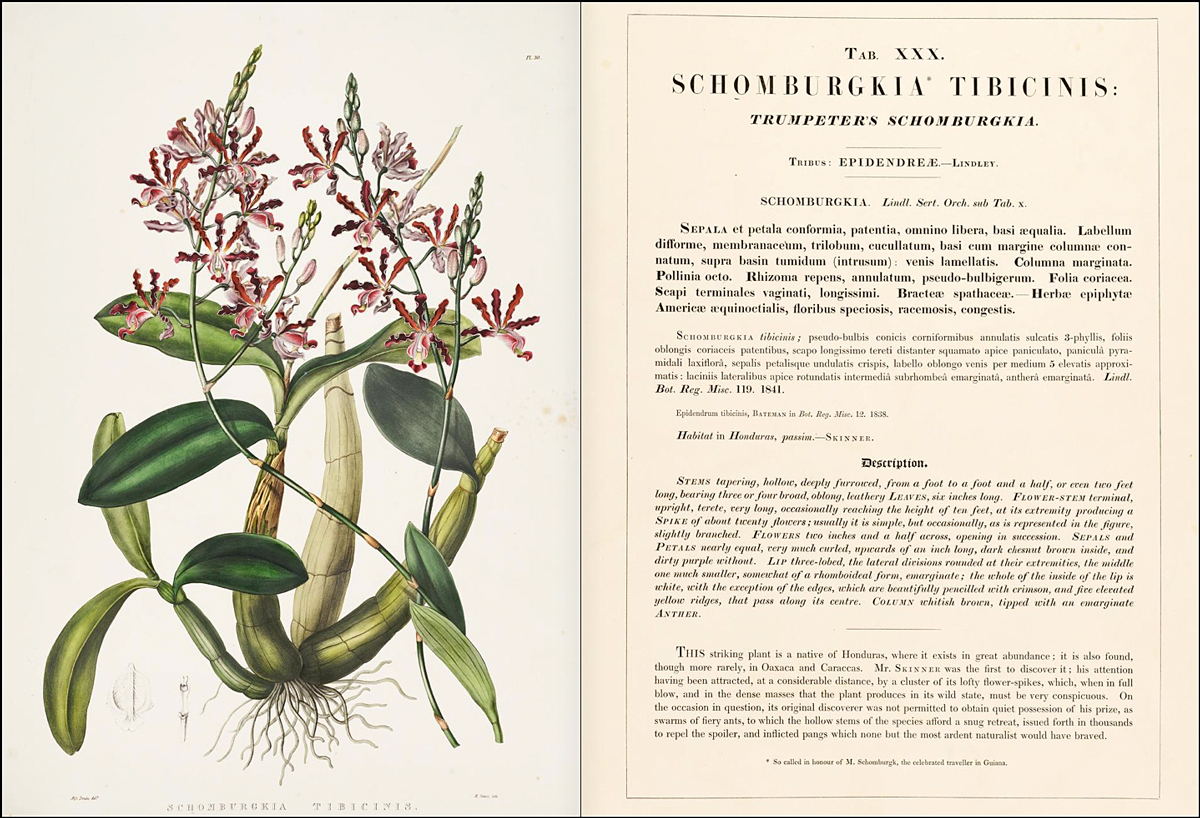 "Myrmecophile tibicinis, tal y como aparece en ""The Orchidicae of Mexico and Guatemala"", libro publicado por James Bateman en 1843. (Captura de pantalla de archive.org)"