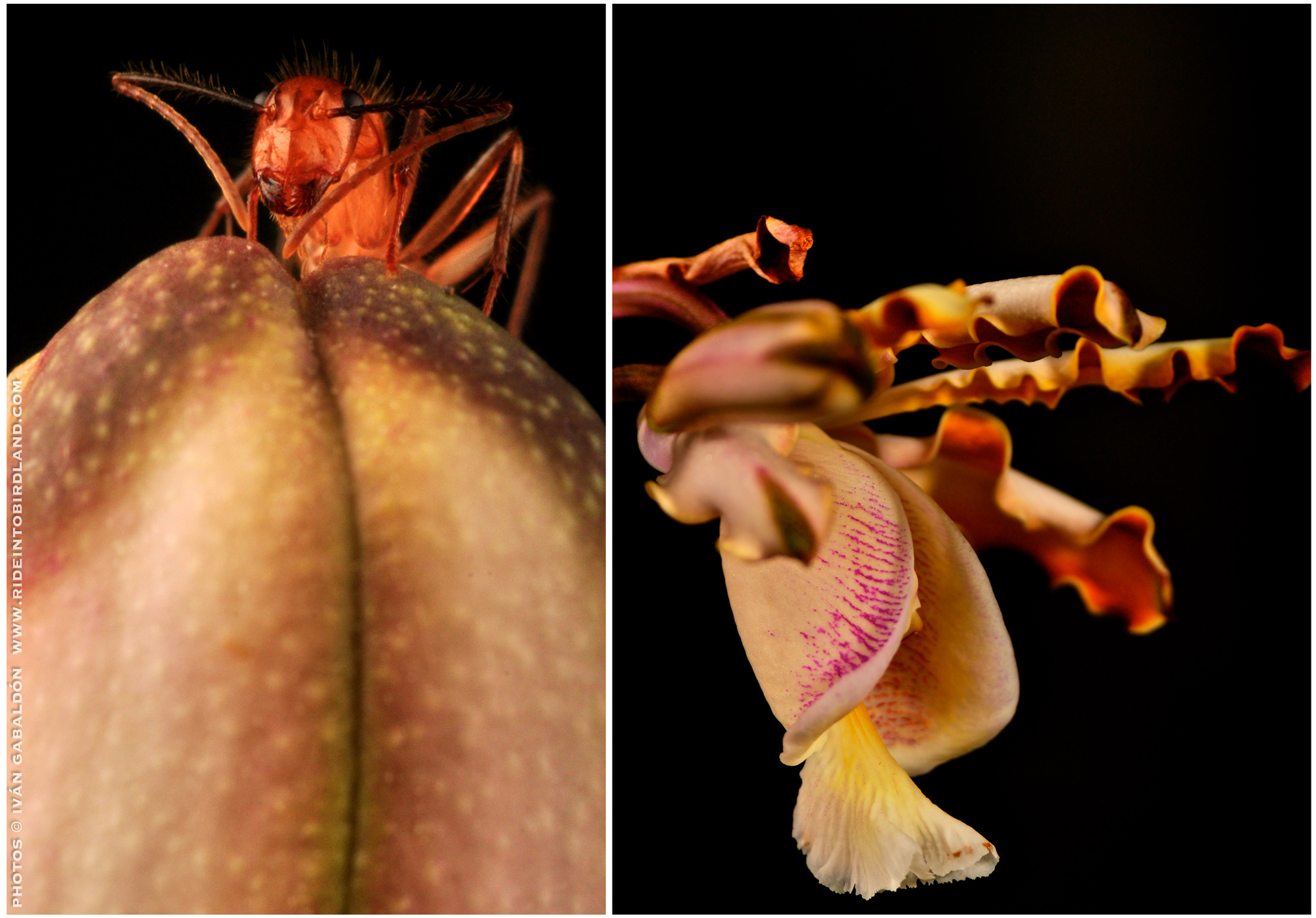 orchid_and_ant