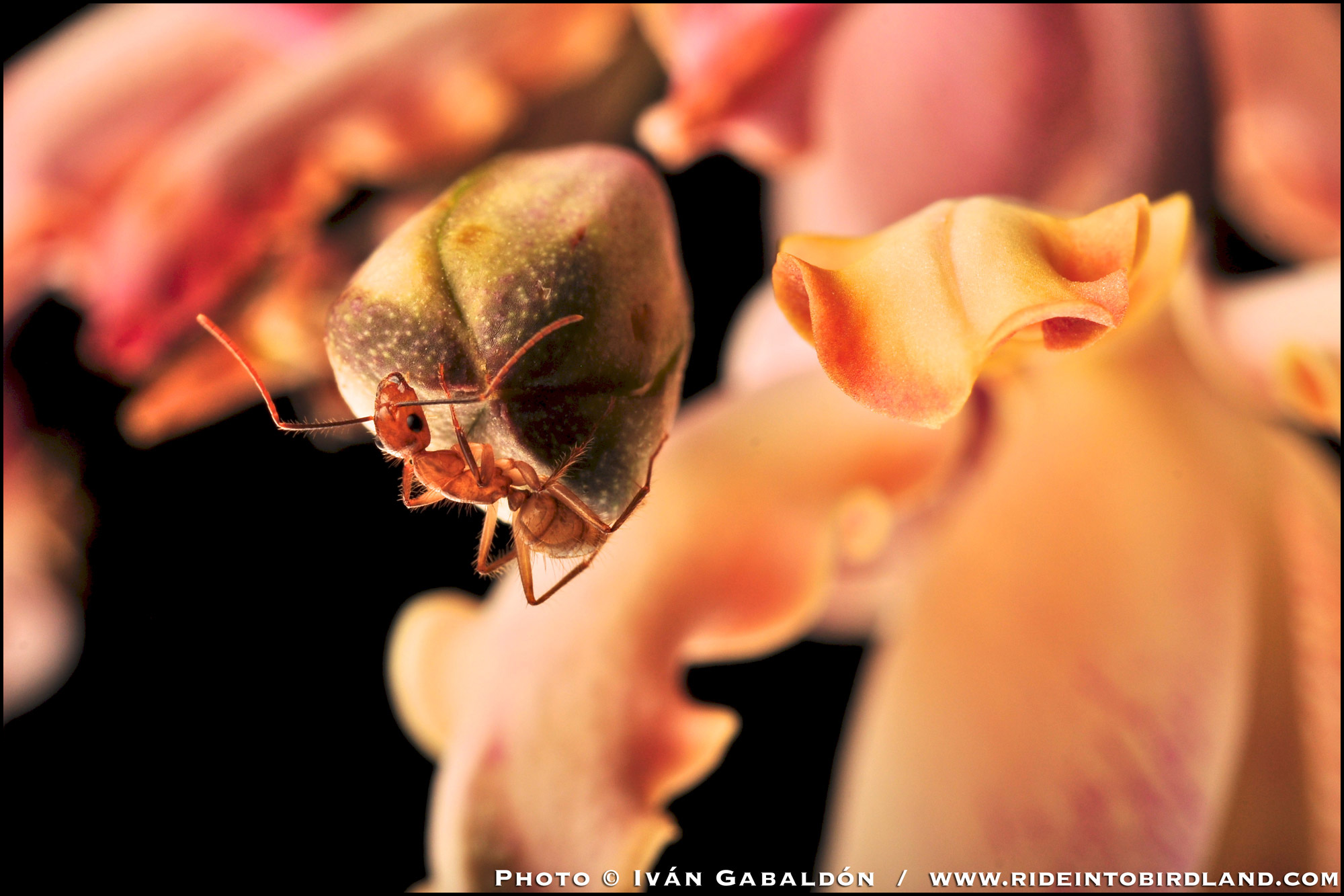 Reaching the confines of its orchid-world... (Photo © Iván Gabaldón).