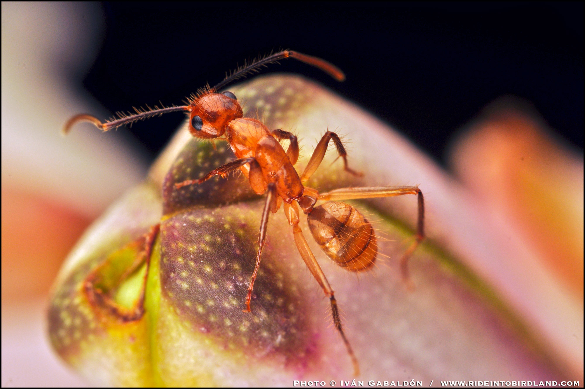 A detailed view showing the ant's many hairs. (Photo © Iván Gabaldón).