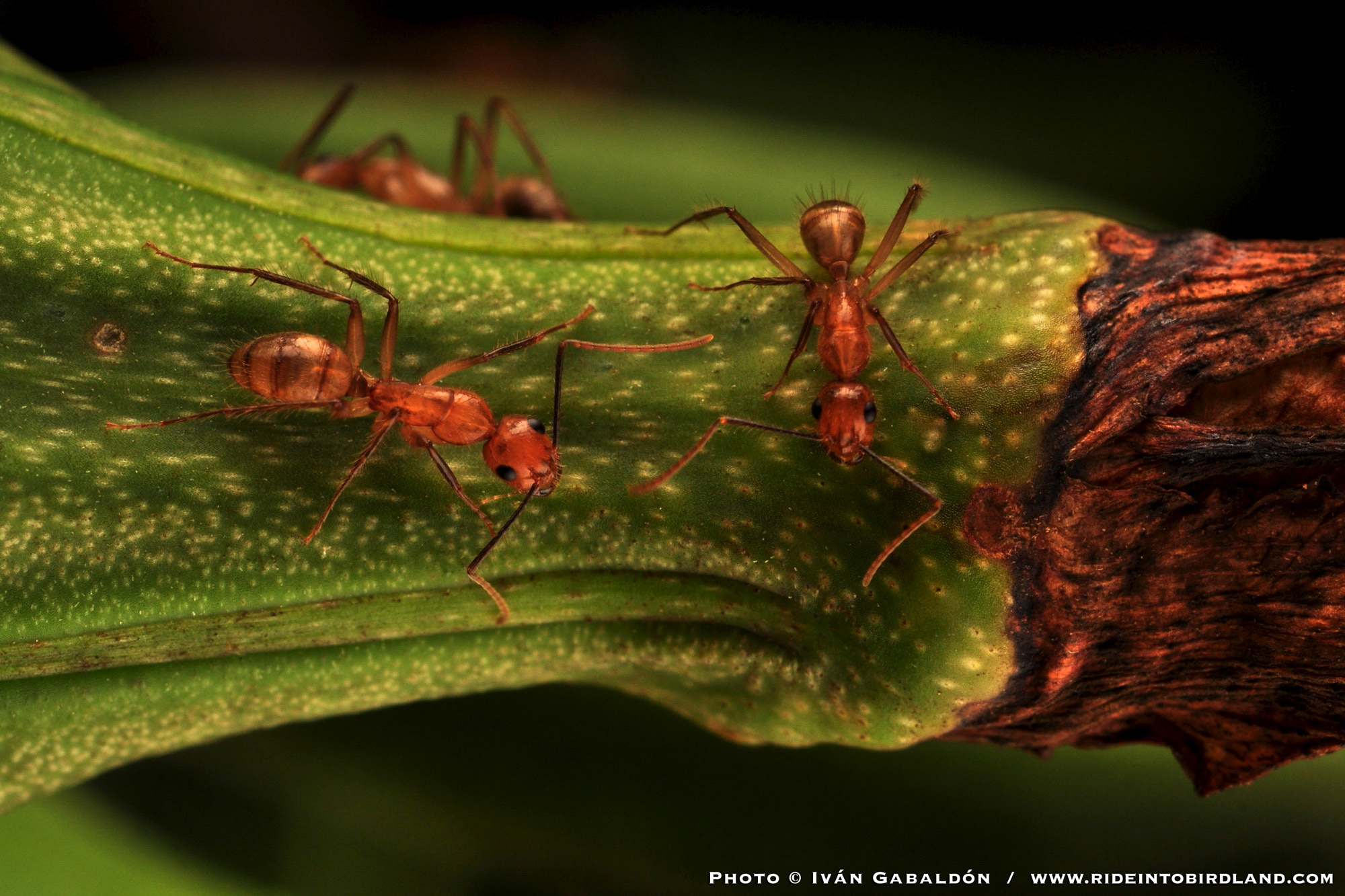 "The red ants were present in larger numbers, turning parts of the plant into ""ant highway"". (Photo © Iván Gabaldón)."