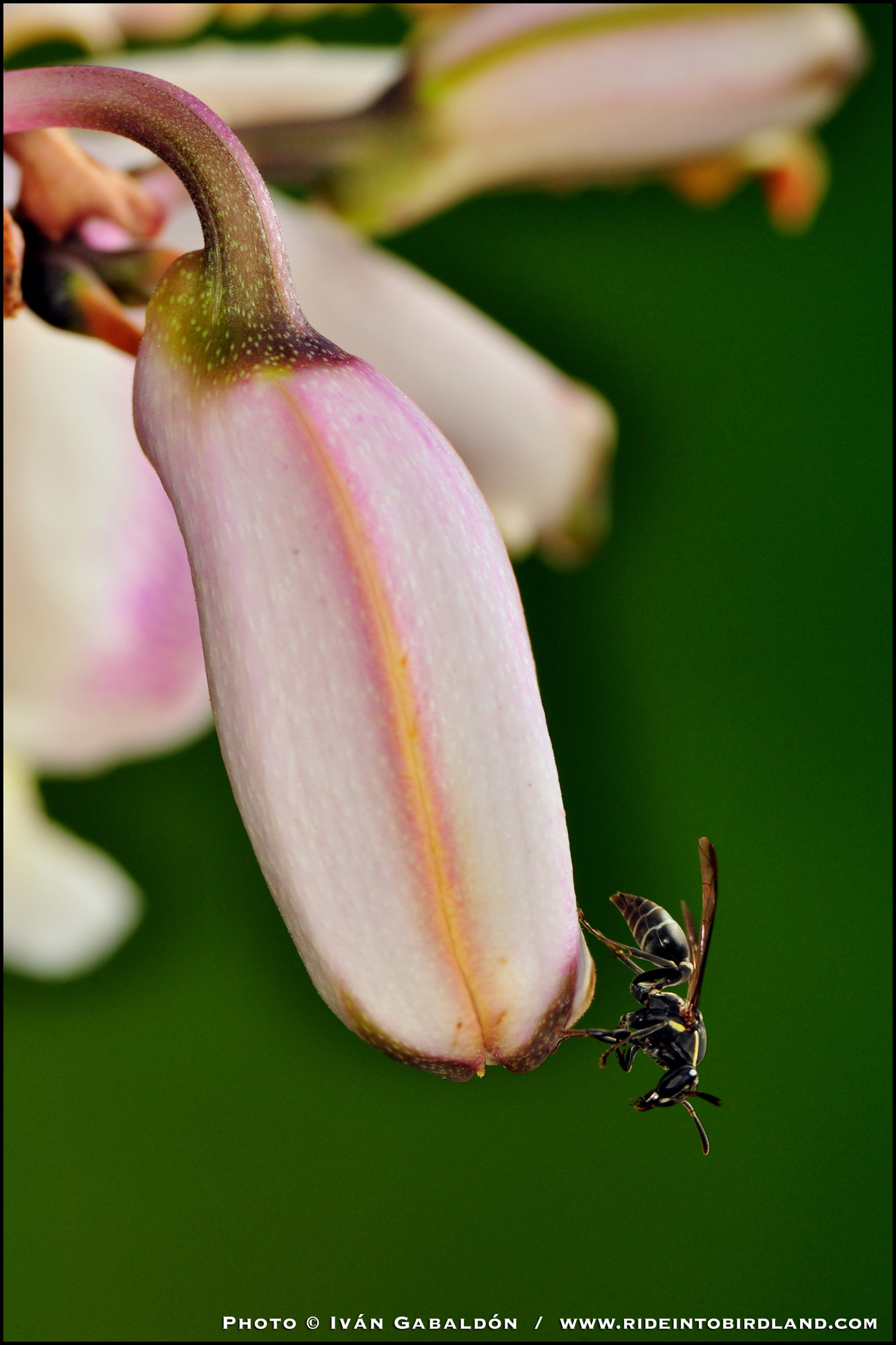 The wasp seem to like this spot, but as far as I could tell, she was not collecting nectar, as were the ants. (Photo © Iván Gabaldón).