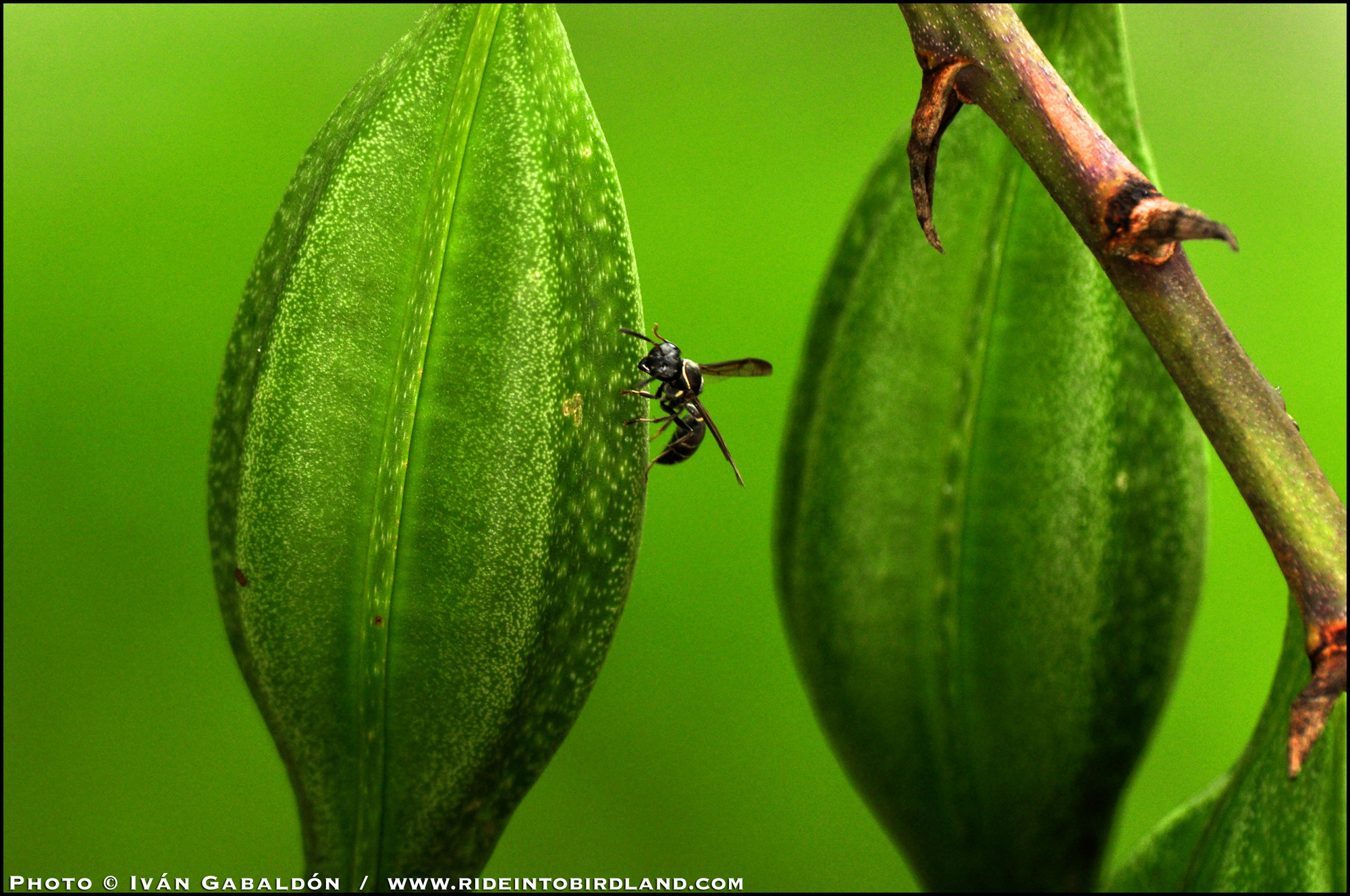 Not to be ignored, a wasp joins the action. (Photo © Iván Gabaldón).