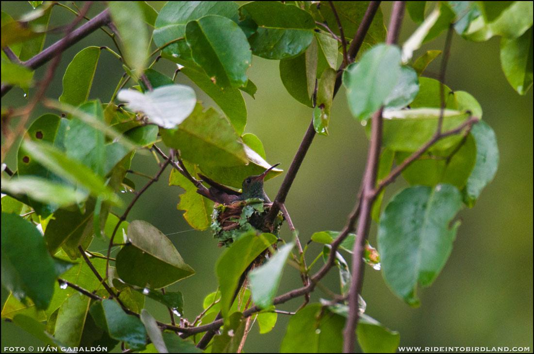 Un Colibrí Cola Canela (Amazilia tzacatl) ha hecho su nido en una rama baja en medio del sendero. (Foto © Iván Gabaldón).