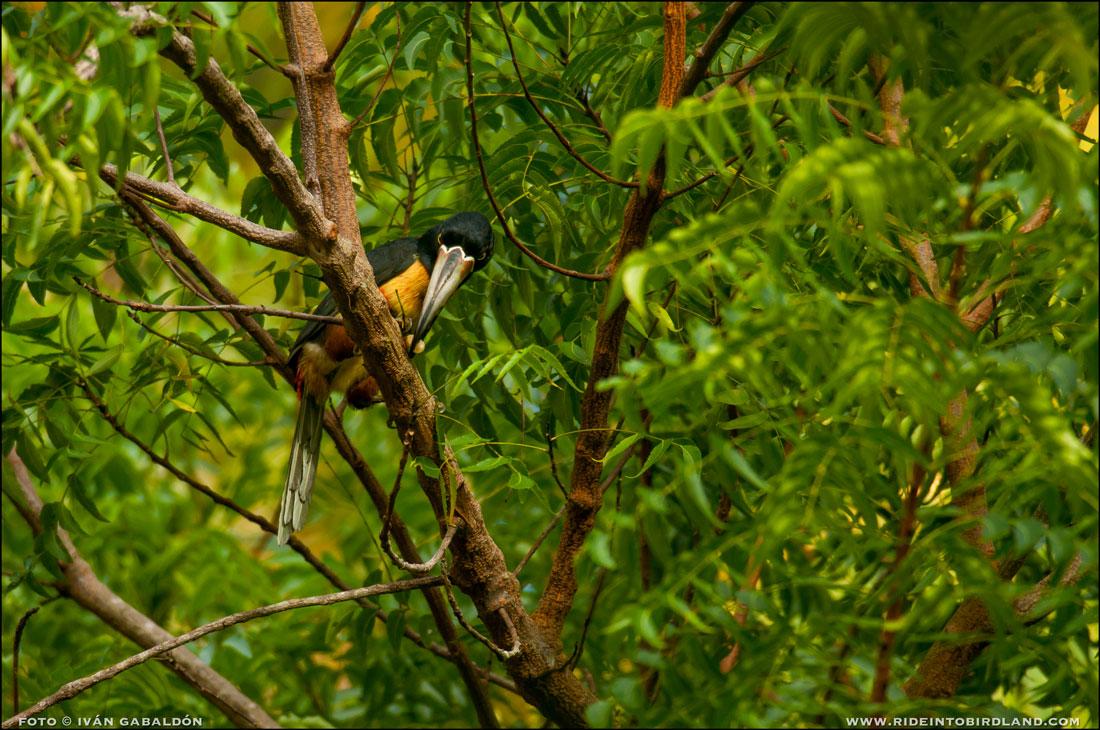 En el mismo árbol, un Tucancillo Collarejo (Pteroglossustorquatus). (Foto © Iván Gabaldón).
