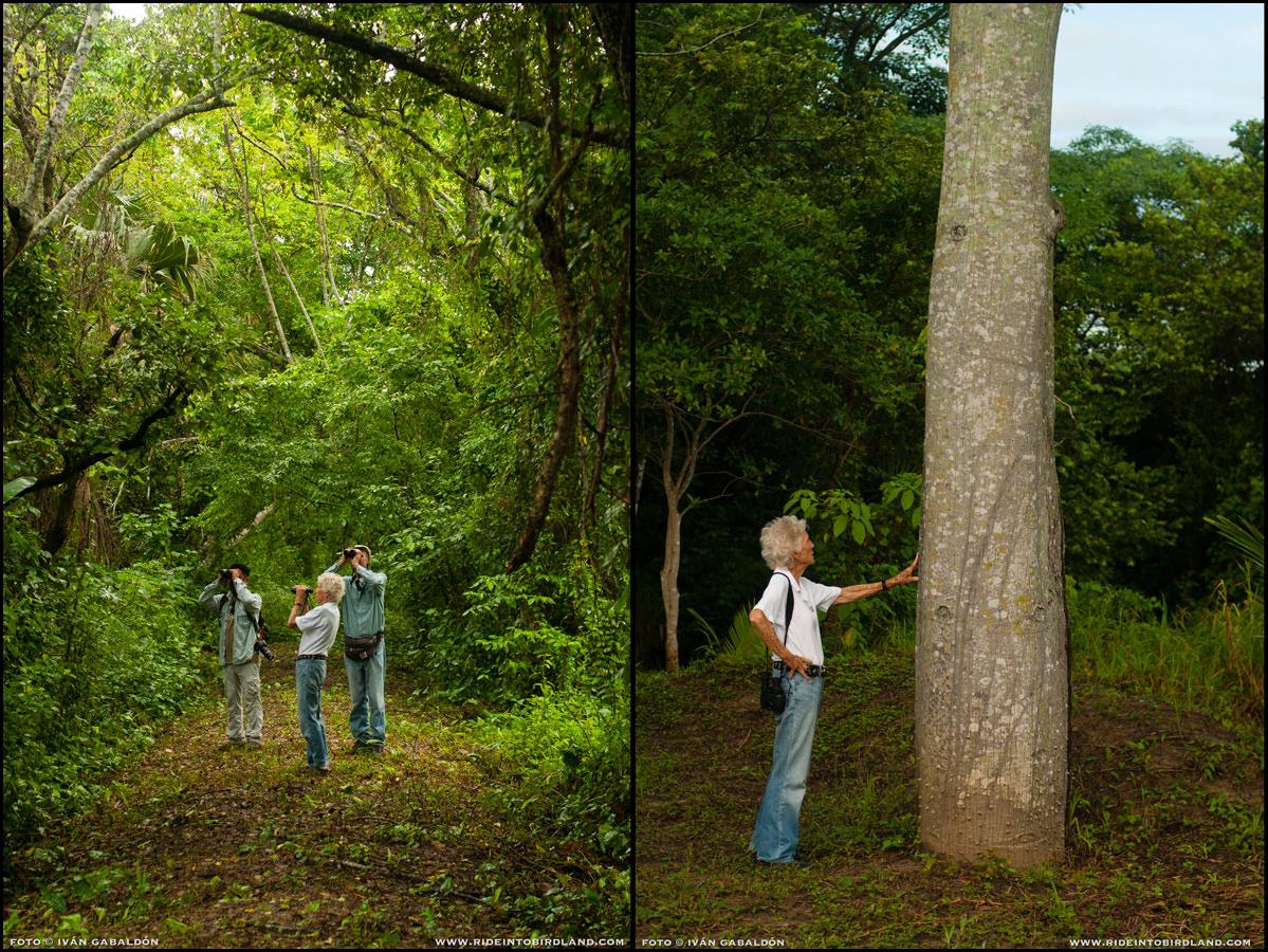 Izq: Jesús Vargas Soriano, Joann Andrews y Paul Wood observan aves en el sendero. Der: Joann admira una ceiba. (Fotos © Iván Gabaldón).