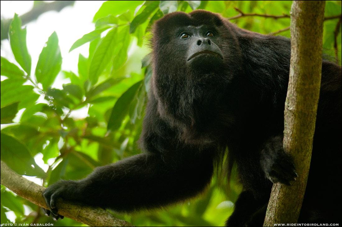 Mono Aullador, parte de un grupo que hace vida en los terrenos del rancho. (Foto © Iván Gabaldón).
