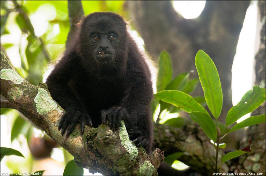Mono Aullador juvenil, haciuend gala de su curiosidad natural ante la presencia del fotógrafo. (Foto © Iván Gabaldón).
