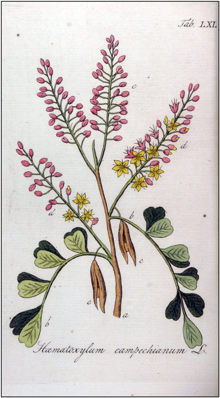Palo de tinte (Haematoxylum campechianum). Illustration by Adolphus Ypey, published in 1813 in a compendium of 100 medicinal plants. (Image: Public domain - Wikipedia).