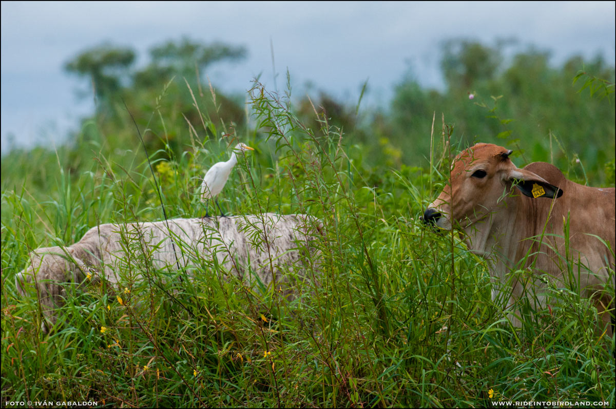 cattle_and_egret